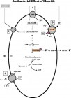 FIGURE 6--Essential reactions involved in carbochydrate metabolism by saccharolytic oral bacteria (Hamilton, 1990): (1) Sugar transport via the phosphoenolpyruvate (PEP) transport system, (2) sugar uptake via thePMF-associated transport system, (3) proton efflux via the H+/ATPase, and (4) lactate/proton efflux. Fluoride has a direct inhibitory effect on enolase and H+/ATPase.