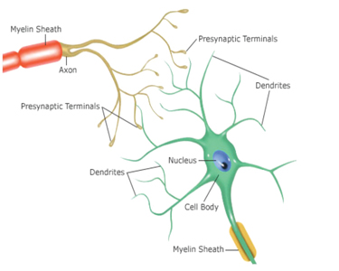 Drawing of a Neuron.