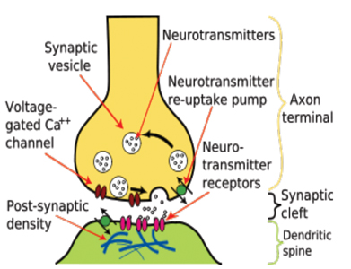 Drawing of a Synapse.
