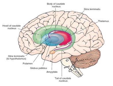 Basal Ganglia, putamen, palladium, caudate nucleus and thalamus.