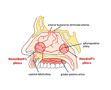 Arterial supply of the septum of the nasal cavity.