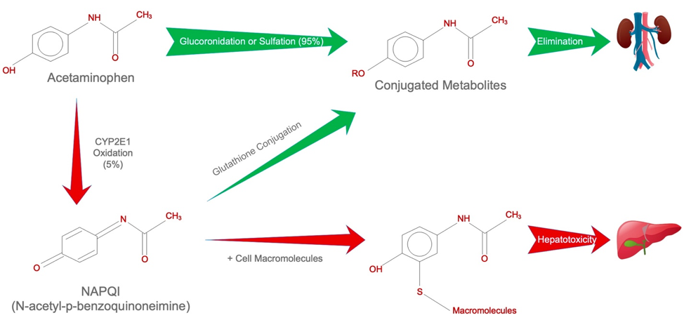 Metabolism of Acetaminophen. The majority of Acetaminophen is conjugated and eliminated in the urine (green arrows). A small percentage of Acetaminophen is converted into toxic N-acetyl-p-benzoquinoneimine (NAPQI), which may lead to hepatotoxicity (red arrows) when conjugation pathways are saturated due to excessive Acetaminophen consumption.